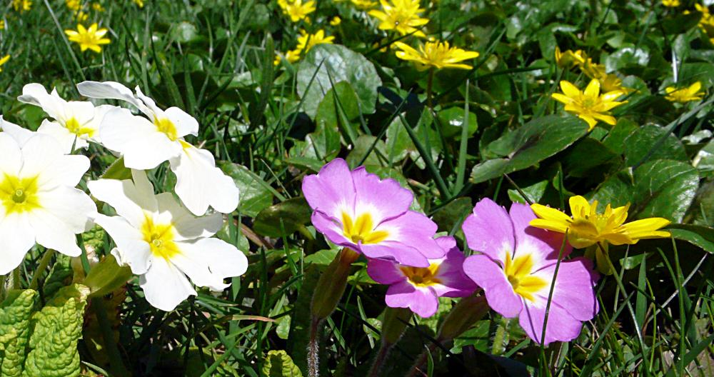 Primroses – Panasonic DMC-LX2; Developed with GIMP