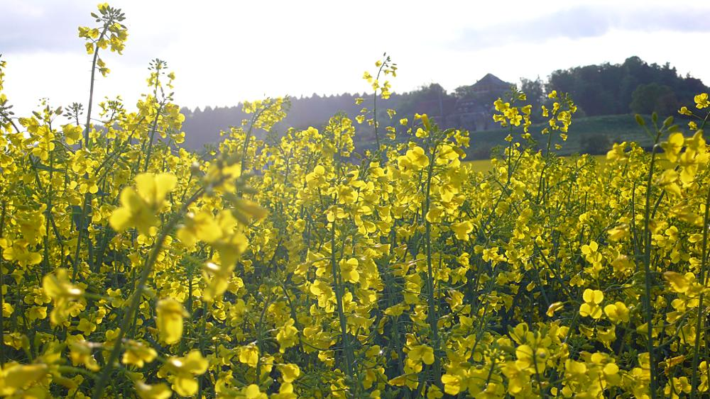 Rapeseed-1 – Panasonic DMC-LX2; Developed with GIMP