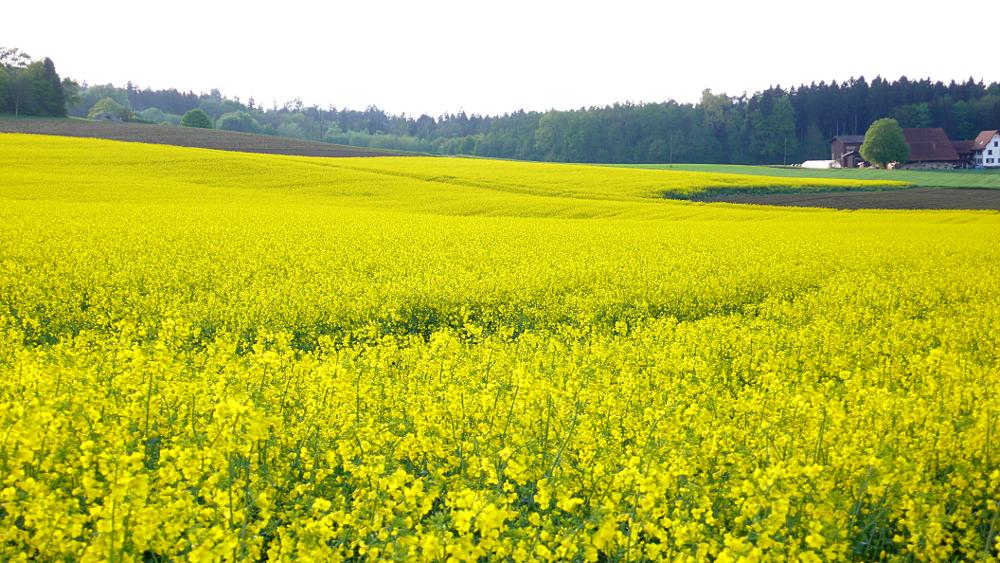 Rapeseed-2 – Panasonic DMC-LX2; Developed with GIMP