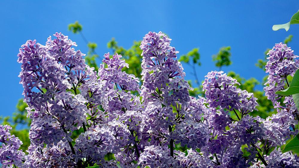 Lilac – Panasonic DMC-LX2; Developed with GIMP